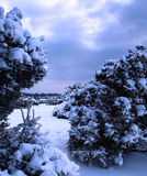 Schnee deckte Stechginsterbüsche ab Stockbild