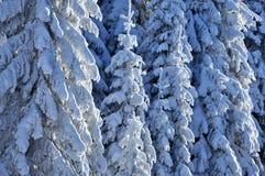 Schnee deckte Tanne ab Stockfotos