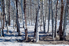Schnee deckte Wald ab Lizenzfreies Stockbild