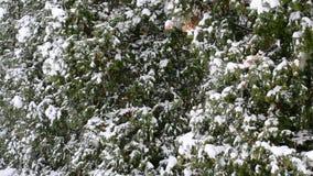 """Schnee, der auf grünes Thujabaumhintergrund †""""Nahaufnahme fällt stock video"""