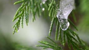 Schnee, der auf Knospen auf Niederlassungen von Winterbäumen schmilzt Nahaufnahme des Wassers fällt von schmelzendem Schnee über  stock footage