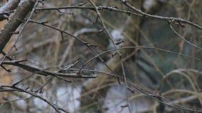 Schnee, der auf Niederlassungen des bloßen Kirschbaums fällt stock footage