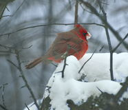 Schnee, der männlichen Kardinal isst Lizenzfreies Stockfoto