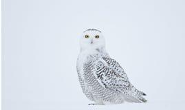 Schnee-Eulen-Aufstellung Lizenzfreie Stockbilder