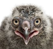 Schnee-Eulen-Küken, Bubo scandiacus, 19 Tage alt gegen Weißrückseite lizenzfreie stockfotografie