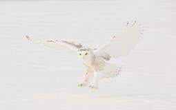 Schnee-Eulen-Landung auf dem Gebiet Lizenzfreie Stockfotografie
