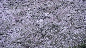 Schnee fällt auf das grüne Gras Geschossen auf Kennzeichen II Canons 5D mit Hauptl Linsen stock video