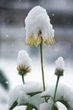 Schnee fällt auf die gelben Blumen und die Grünpflanzen Lizenzfreie Stockfotografie