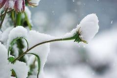 Schnee fällt auf die purpurroten Blumen und die Grünpflanzen Lizenzfreies Stockbild