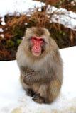 Schnee-Fallhammer (japanischer Macaque) Lizenzfreie Stockfotos