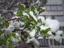 Schnee, Frost, Frost im Spätfrühling während des Blühens von Bäumen Die Niederlassung unter dem Schnee Lizenzfreie Stockfotos