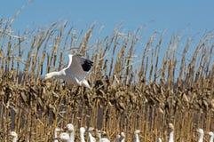 Schnee-Gänse des Abweichen-Greating, die auf dem Gebiet landen Lizenzfreie Stockfotos