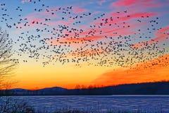 Schnee-Gänse, die über gefrorenen See fliegen Lizenzfreie Stockfotos