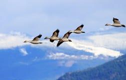 Schnee-Gänse, die Berg-Skagit-Tal Washington fliegen Lizenzfreie Stockfotos