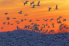 Schnee-Gänse, die am Sonnenaufgang fliegen stockfoto