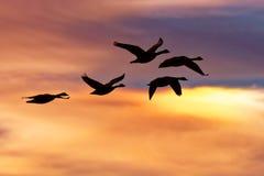 Schnee-Gänse, die am Sonnenaufgang fliegen Lizenzfreies Stockfoto
