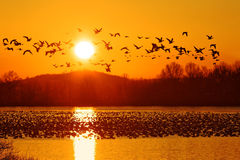 Schnee-Gänse nehmen Flug bei Sonnenaufgang Stockfoto