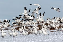 Schnee-Gans-Fliegen von Snowy-Abhang stockfoto