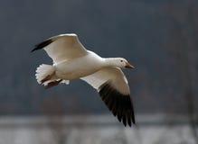 Schnee-Gans im Flug lizenzfreie stockfotografie