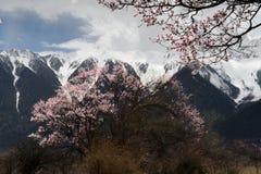 Schnee-Gebirgs-und Pfirsich-Baum Lizenzfreie Stockfotografie