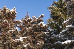 Schnee-Grünbaum des Winters kalter Stockfoto