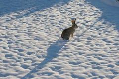 Schnee-Häschen lizenzfreies stockbild