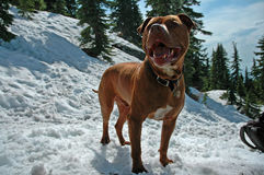 Schnee-Hund Lizenzfreie Stockbilder
