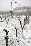 Schnee im Weinberg Stockfoto