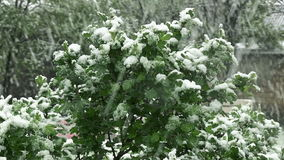 Schnee ist Frühling Nassschnee fällt auf die grünen Blätter und die Bäume stock footage