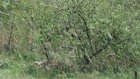 Schnee ist Frühling Nassschnee fällt auf die grünen Blätter und die Bäume stock video footage