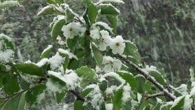 Schnee ist Frühling Nassschnee fällt auf die grünen Blätter und die Blumen stock footage