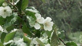 Schnee ist Frühling Nassschnee fällt auf die grünen Blätter und die Blumen stock video footage