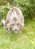 Schnee-Leopard Stockfotos