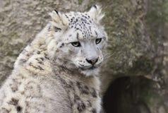 Schnee-Leopard Lizenzfreie Stockfotos