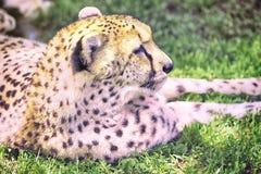 Schnee-Leopard Lizenzfreie Stockbilder