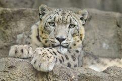 Schnee-Leopard Stockbild