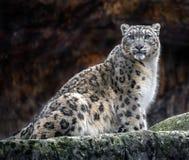 Schnee-Leopard auf dem Felsen lizenzfreies stockfoto