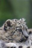 Schnee-Leopard Cub Stockbild
