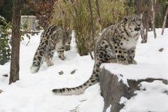 Schnee-Leopard CUB, das auf Felsen im Schnee schreit Lizenzfreie Stockfotos