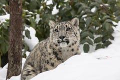 Schnee-Leopard CUB hinter Schnee haben mit Bäumen ein Bankkonto Stockbilder