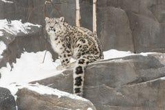 Schnee-Leopard CUB mit dem langen Schwanz auf Felsen mit Schnee Stockbild