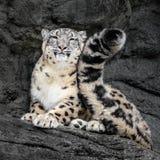 Schnee-Leopard-Endstück lizenzfreie stockfotografie