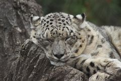 Schnee-Leopard im Heiligen Louis Zoo Stockbild