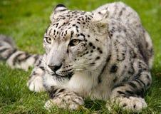Schnee-Leopard im Ruhezustand Stockfoto