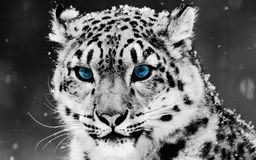 Schnee-Leopard mit großen schönen blauen Augen Stockfotos