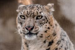 Schnee-Leopard, Panthera uncia, Sie betrachtend stockfotografie