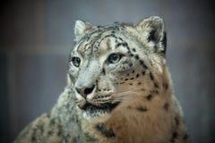 Schnee-Leopard-Porträt Stockfotos