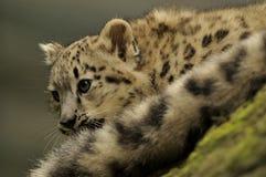 Schnee-Leopard-Schätzchen (Uncia uncia) lizenzfreie stockfotografie