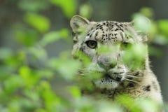 Schnee-Leopard (Uncia uncia) Lizenzfreies Stockbild