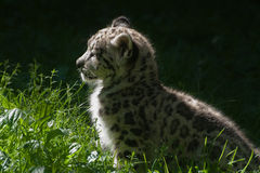 Schnee-Leopardjunges Stockfotos